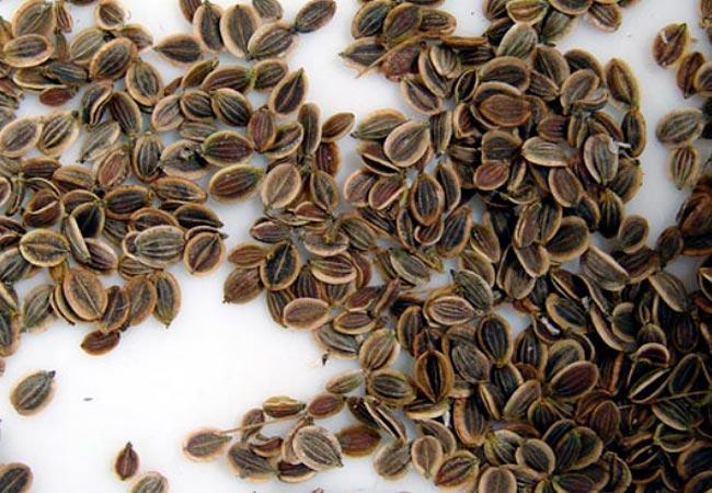 семена укропа при коликах у новорожденного